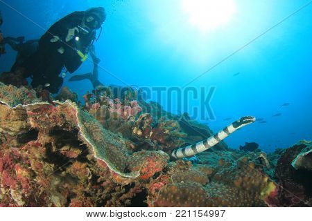 Banded Sea Snake and scuba diver