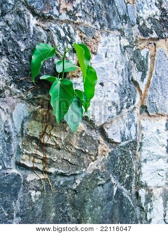 Bohdi Tree Growing From The Wall