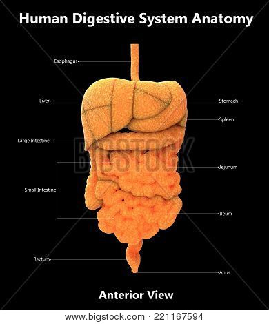 3D Illustration of Human Digestive System with Detailed Labels Anatomy (Anterior View)
