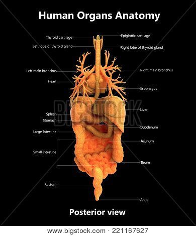 3D Illustration of Human Body Internal Organs with Detailed Labels Anatomy (Posterior View)