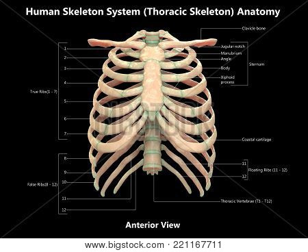 Human Skeleton System Thoracic Skeleton with Detailed Labels Anatomy (Anterior View)