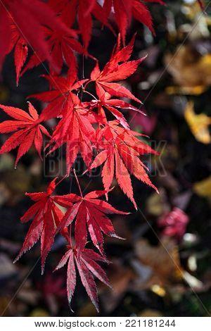 Close-up of bright red branch of Japanese maple or Acer palmatum on the autumn garden