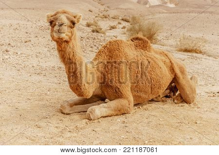 Picturesque desert dromedary camel lying on sand and looking into camera. Summer sahara travel and tourism.