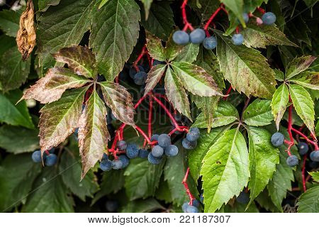 Wild wine in autumn Leaves and berries, close up
