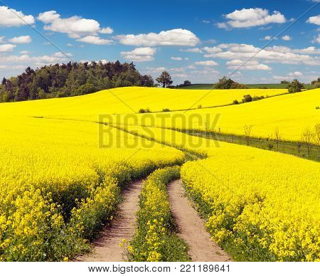Field of rapeseed, canola or colza in Latin Brassica napus with rural road and beautiful cloud, rapeseed is plant for green energy and oil industry, springtime golden flowering rape seed field