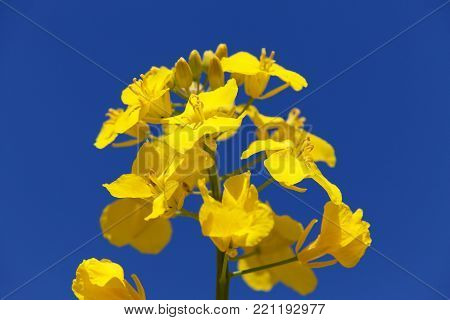 detail of flowering rapeseed field, canola or colza in latin Brassica Napus, plant for green energy and oil industry, rape seed on blue sky background