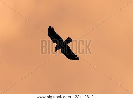 Silhouette of a black raven on a sunset background .