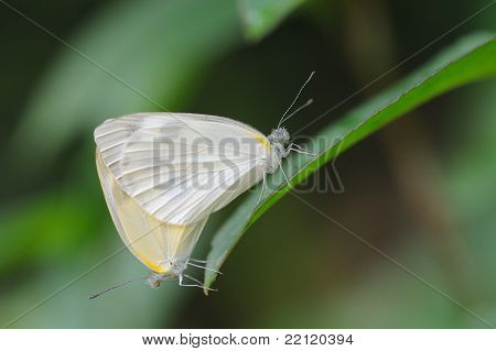 Mating of white Butterfly