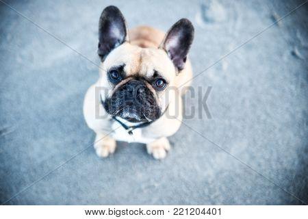 Cute little dog with big eyes french bulldog
