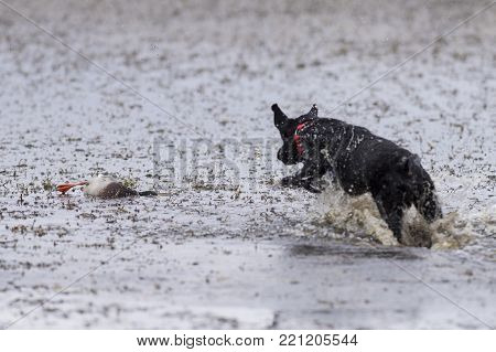 A Black Labrador retriever leaping in a pond to retrieve a Mallard Duck