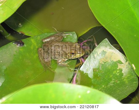Small frog sitting on a lilly pad. poster