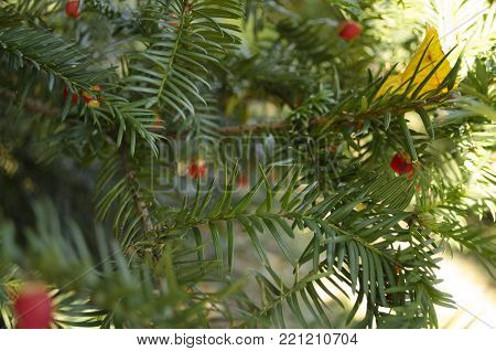 Yew tree with red fruits. Taxus baccata. Branch with mature berries. Red berries growing on evergreen yew tree branches. European yew tree with mature cones. Green coniferous tree with red berries
