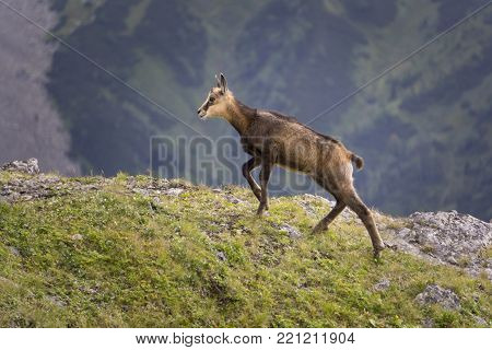 Young mountain chamois in the wild. Tatry. Poland.
