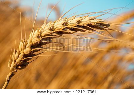 Detail of One Grain Ear in Wheat Grain Field