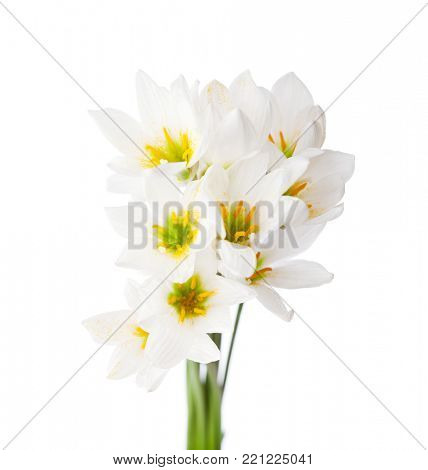 Bunch of white lilies isolated on a white background. White rain lily (zephyranthes candida).