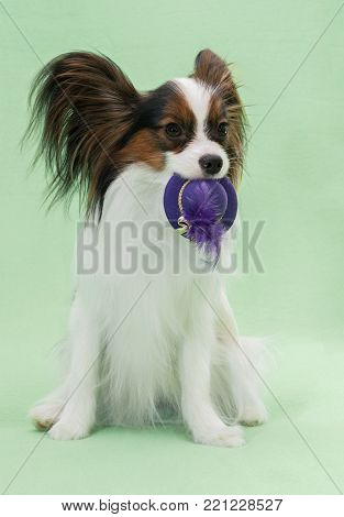 Beautiful young continental spaniel papillon holds in the mouths of hats off with a feather on a green background