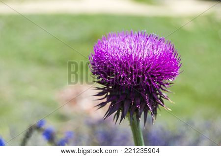 Kenger plant, pictures of Silybum marianum plant Silybum marianum plant, a medicinal plant glowing in the spring