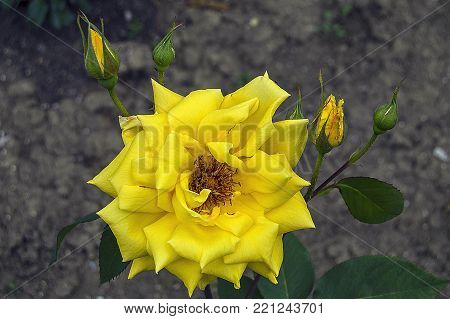 yellow roses, yellow roses pictures for photoshop, striking wonderful yellow roses,The beautiful gift is a yellow rose.