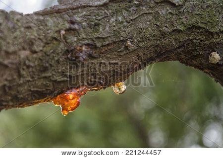 View of cherry branch full of rosin