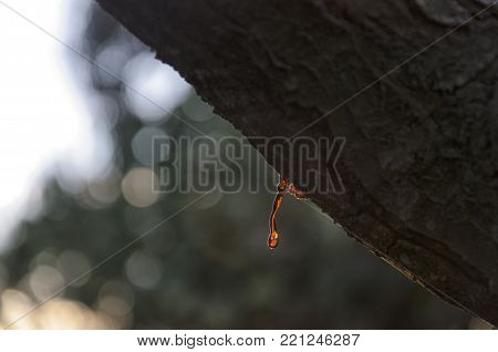 View of vegetable rosin of a tree branch