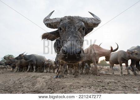 Herds of buffalo in countryside,Thailand, Selective focus