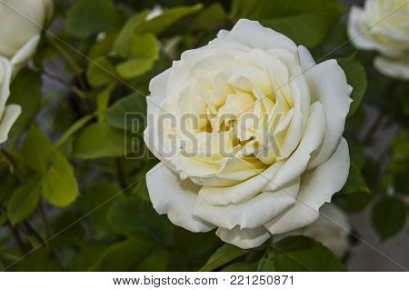 White color roses, White roses pictures for photoshop, striking wonderful White color roses,