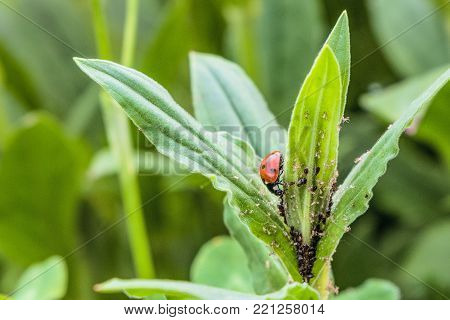 Red spotted ladybug eating aphid in the wild