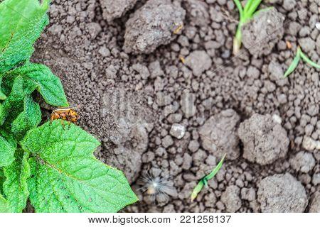 Colorado beetle eats green potato leaf on a blurred background garden soil. Copy space.