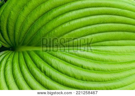 Hosta leaf close-up. Hosta - an ornamental plant for landscaping park and garden design. Veins of the leaf.