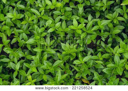 Periwinkle leaves background. Natural lush glossy greenery plants for ornamental and landscaping park and garden design.