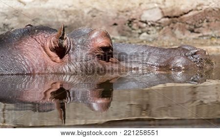 Hippo in water . In the park in nature