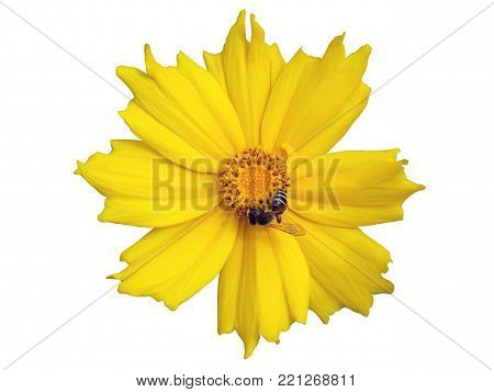 Lance-leaved coreopsis yellow flower with bee isolated on white.