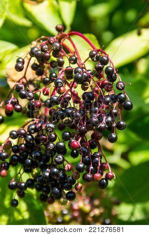 Black fruits of the elderberry (Sambucus ) close up