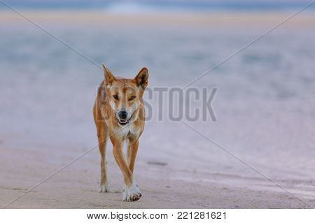 Dingo on the beach in Great Sandy
