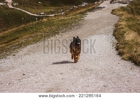 Picture Of A German Sheperd Dog On The Trails Of Cortina D'ampezzo, Dolomites, Italy