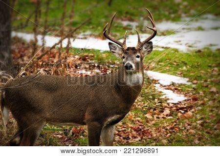 Beautiful whitetail deer buck Odocoileus, virginianus standing amongst autumn leaves with, facing camera. Late autumn scene includes some snow on the ground.