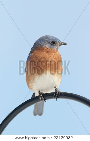Male Eastern Bluebird (Sialia sialis) on a perch with a blue background with negative space