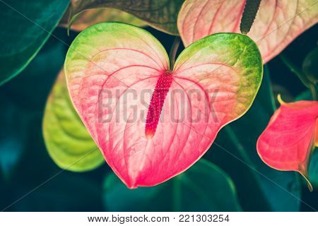 Spring scenes of pink anthurium, laceleaf and tailflower,  blooming flowers in the garden with abstract green soft nature background and wallpaper