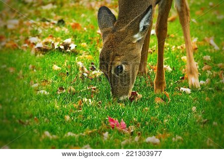 Cute whitetail deer fawn - Odocoileus virginianus - eating grass and leaves closeup view. Green grass and autumn leaves.