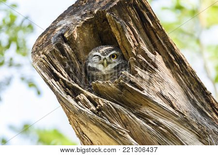 Sweet Spotted owlet roosting in the hollow of tree , Thailand