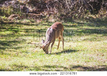 Adolescent deer standing and in green grass.