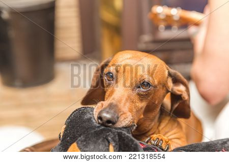 Brown dachshund dog chewing on a stuffed toy.