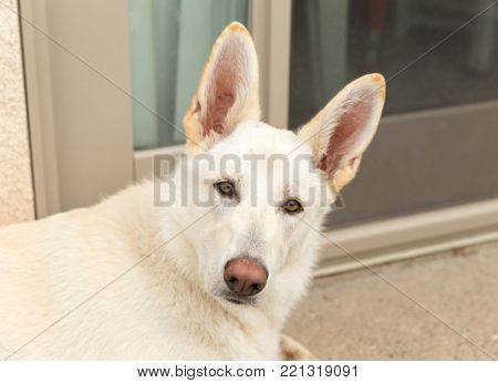 White shepherd puppy sitting outside with large ears perked.