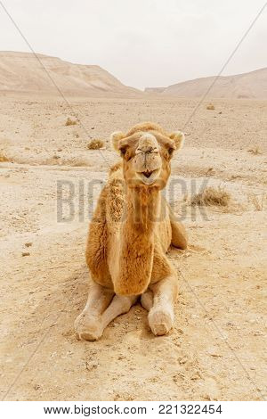 Picturesque desert dromedary camel lying on sand and looking into camera. Summer sahara travel and tourism. Blue sky and beautiful outdoor landscape on background