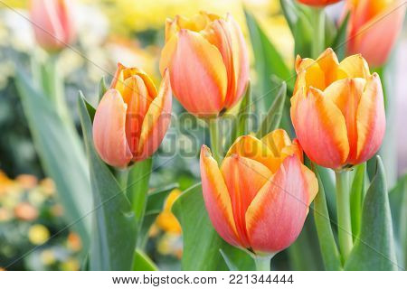 Beautiful tulips in tulip field with green leaf background at winter or spring day. broken tulip.