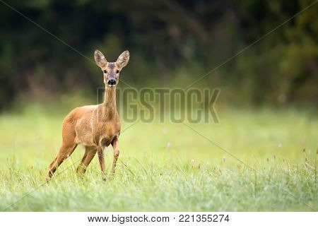 Roe deer in a clearing in the wild
