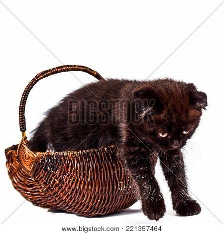 Scottish Fold kitten in basket isoliert on white background