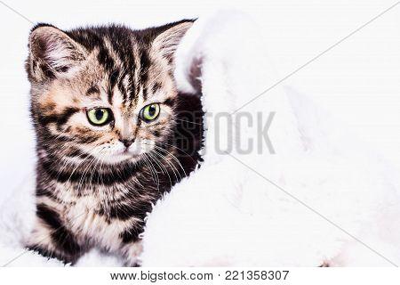 Scottish Straight kitten in a plaid on white background