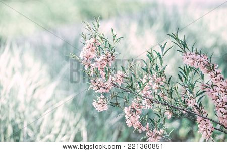 Pink flowering almond blossom, spring green lawn background. Beautiful pink spring tender flowers blossom. Pink sharp and defocused flowers blooming tree, sun backlit.