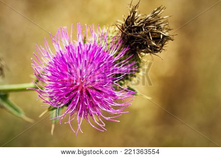 Pink big thistle flowers, close up view